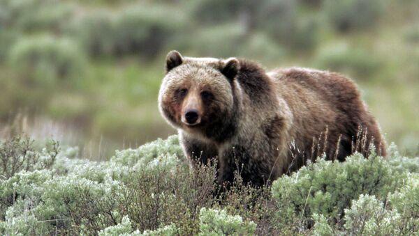 Один из медведей-гризли, обитающих на территории Йеллоустона