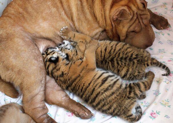 Собака выкармливает тигрят