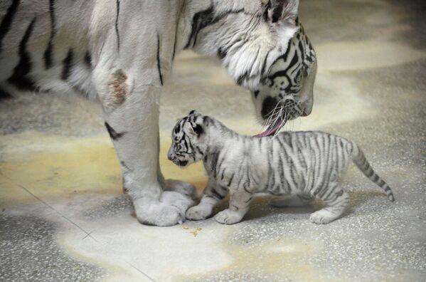Бенгальская тигрица с тигренком