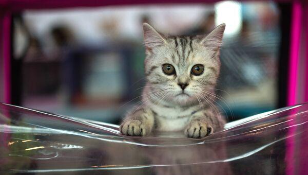 Кошка породы Египетская мау. Архивное фото