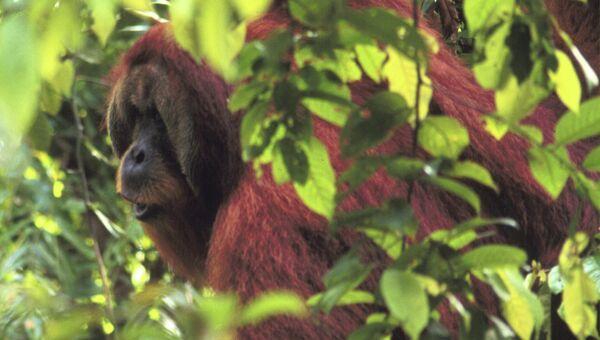 Самцы орангутанов криками оповещают сородичей о своем дневном маршруте