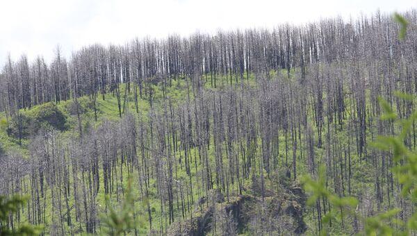 Горелый лес около Чуйского тракта на Алтае