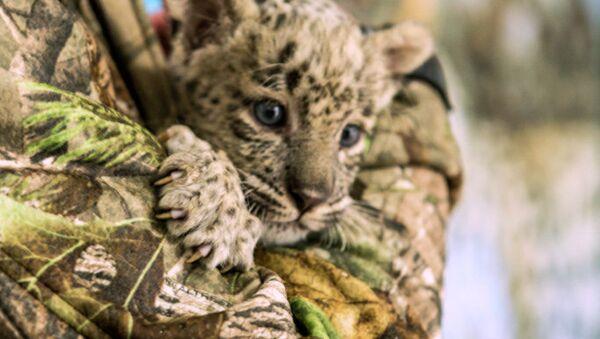 Котенок леопарда в Сочи, архивное фото