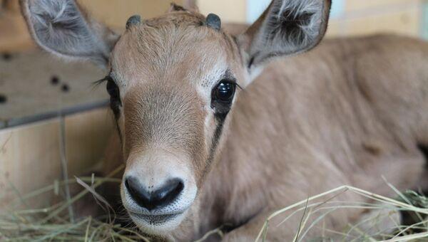 Новорожденная антилопа в зоопарке Роев ручей