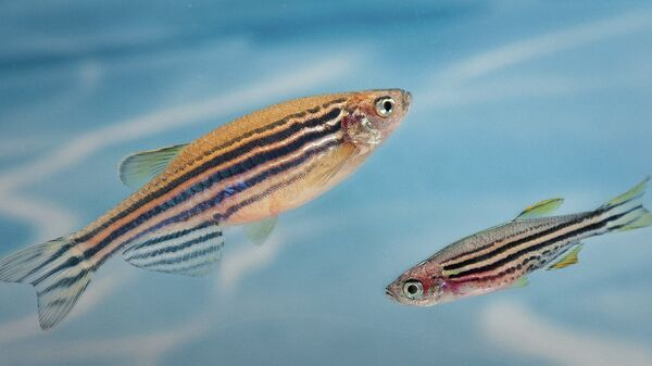 Генномодифицированные рыбки Danio rerio