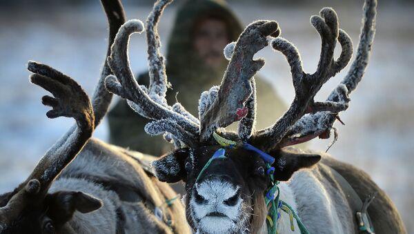 Выпас оленей в Ненецком автономном округе. Архивное фото.
