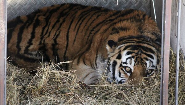 Тигр, спасенный в Амурской области, в сафари-парке в Приморье