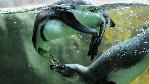Пингвины Гумбольта. Архивное фото