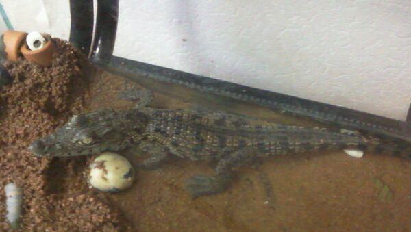 Найденный в Санкт-Петербурге крокодил