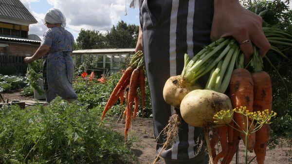 Сбор урожая на даче. Архивное фото