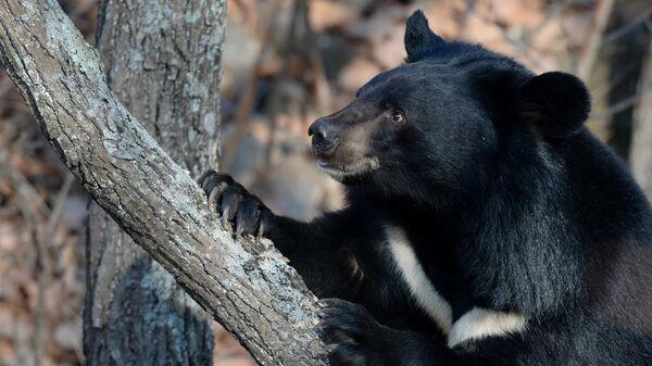 Гималайский медведь в Приморье