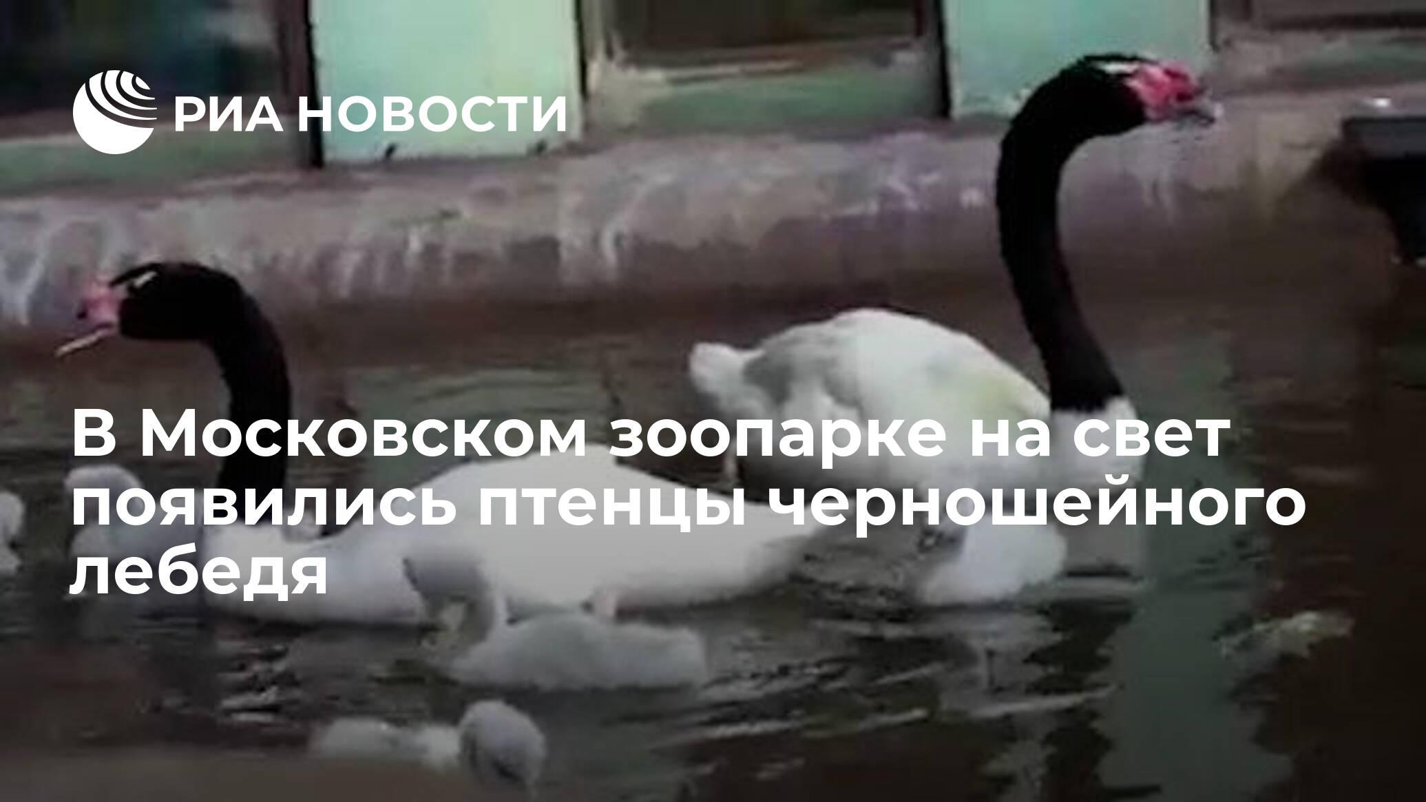 В Московском зоопарке на свет появились птенцы черношейного лебедя